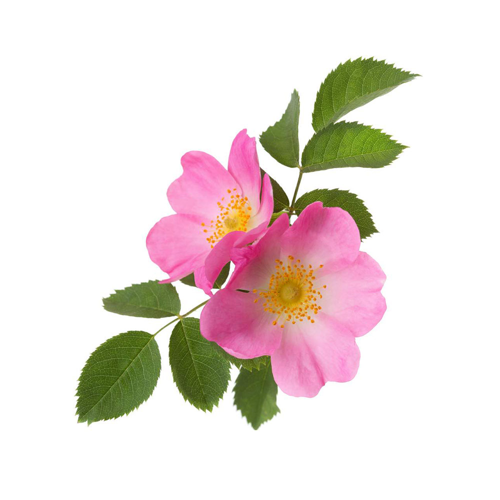 Wild Rose Flower Essence Moving Past Apathy The Flower Apothecary
